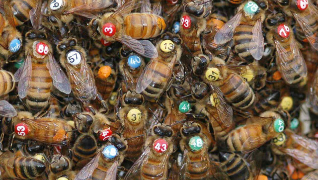 Bees by Thomas D. Seeley